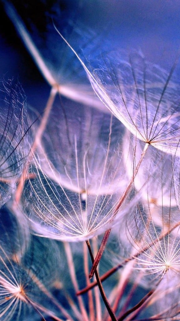 Macro-Dandelions-iPhone-6-plus-wallpaper